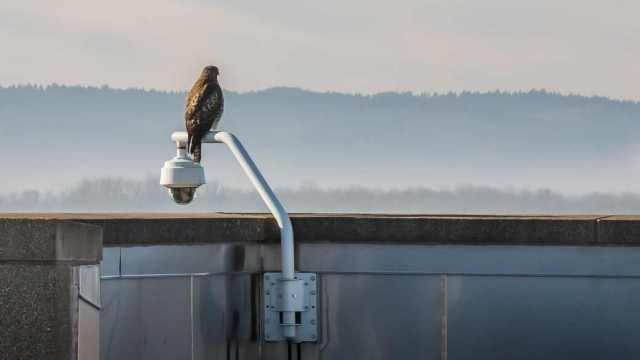 Hawk on the webcam.