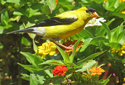 Male goldfinch on garden flowers