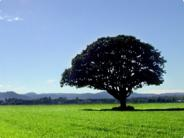 Large tree stands alone in a field