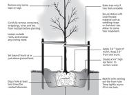proper tree planting graphic
