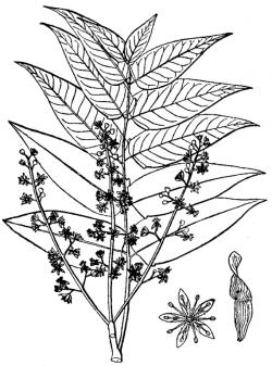 Tree of Heaven leaves, flowers, and seeds