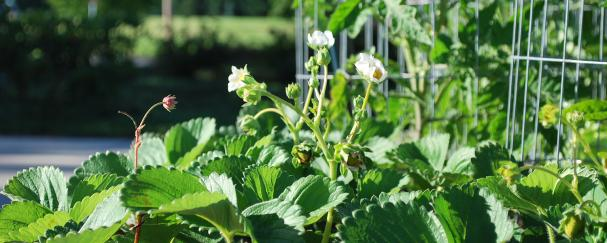 Strawberry plants growing at a community garden in Vancouver