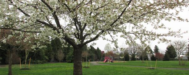 Flowering tree at The Downs Park in Vancouver, Washington