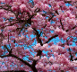 A cherry tree in full bloom
