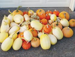 Yellow squash and orange pumpkins.