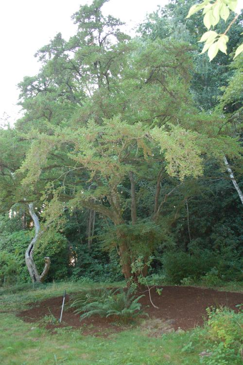 Heritage Trees Japanese Snowbell City Of Vancouver Washington